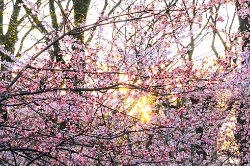 Cherry Blossom「The sunset illuminates Cherry blossoms from behind petals in Central Park New York.」:スマホ壁紙(14)