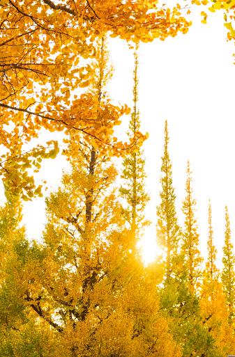 明治神宮外苑「The sunset illuminates the rows of autumn leaves ginkgo trees at the Ginkgo Tree Avenue in Jingu Gaien, Chhiyoda Ward, Tokyo Japan on November 17 2017. Autumn leaves shake by winds.」:スマホ壁紙(10)
