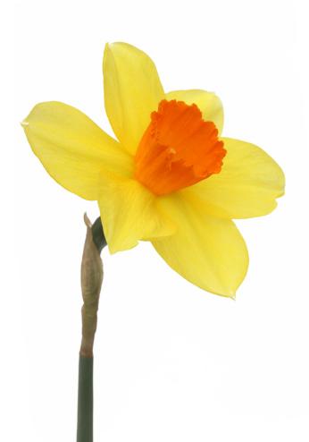 水仙「Single fresh yellow and orange daffodil.」:スマホ壁紙(5)