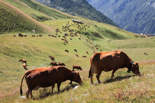 Tarentaise「cows in Tarentaise Valley - Tarine race」:スマホ壁紙(16)