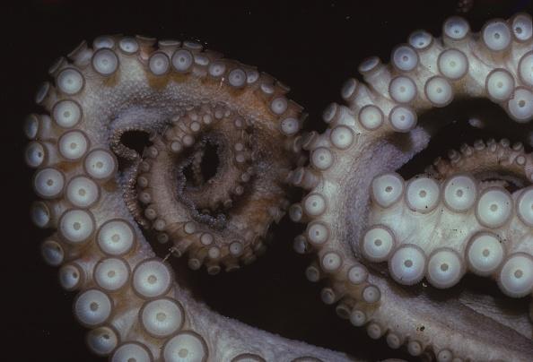 Mollusk「Octopus (Octopus Vulgaris)」:写真・画像(14)[壁紙.com]