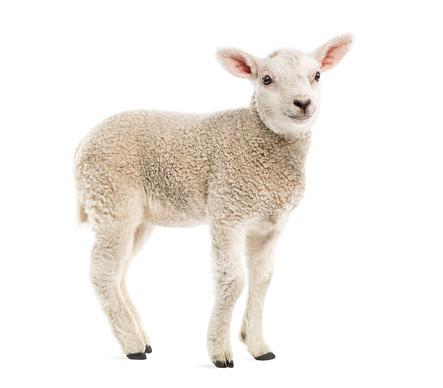 Belgium「Lamb (8 weeks old) isolated on white」:スマホ壁紙(13)