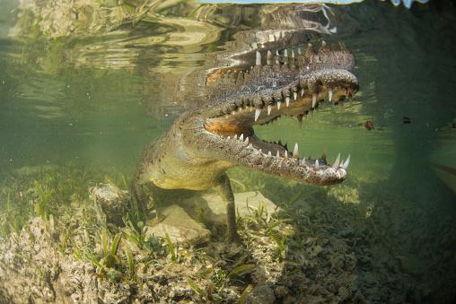 Shallow「American saltwater crocodile in mangrove off of Cuba.」:スマホ壁紙(15)