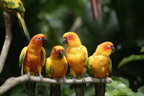 Parrot「Four Sun Conures (Aratinga solstitialis) on branch, close-up」:スマホ壁紙(19)
