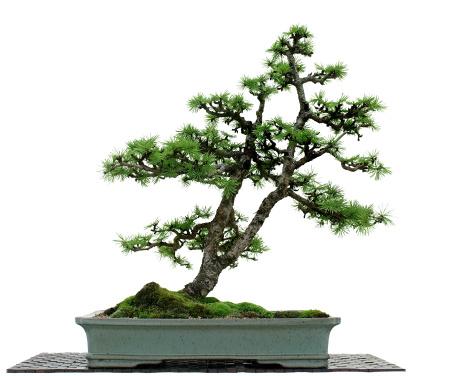 Larch Tree「Larch Bonsai on White」:スマホ壁紙(6)