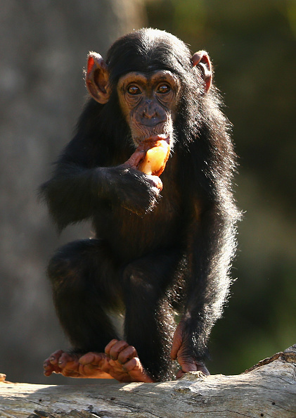 動物「Chimpanzee's At Taronga Zoo Escape Sydney Heat」:写真・画像(19)[壁紙.com]