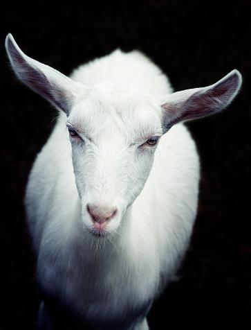 Goat「white goat looking at camera」:スマホ壁紙(13)