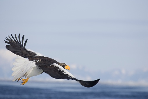 Glider「Steller's Sea-Eagle Flying Over Sea」:スマホ壁紙(14)
