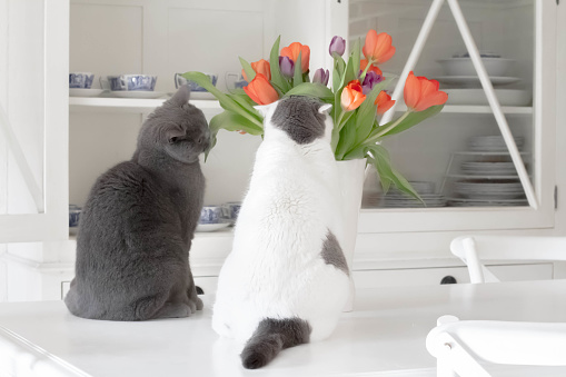 ショートヘア種の猫「Two cats looking at tulips in kitchen」:スマホ壁紙(12)