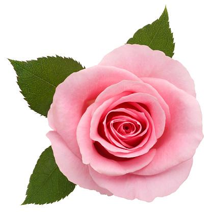 薔薇「ピンクローズ/クリッピングパス」:スマホ壁紙(11)