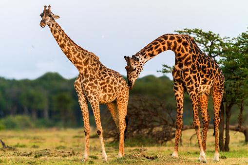 Giraffe「male giraffe smelling female.」:スマホ壁紙(19)