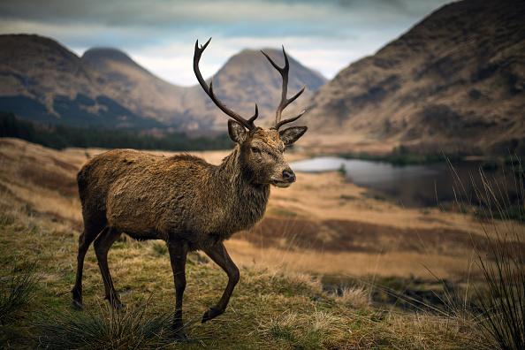animal「The Red Deer In The Highlands Of Scotland」:写真・画像(7)[壁紙.com]