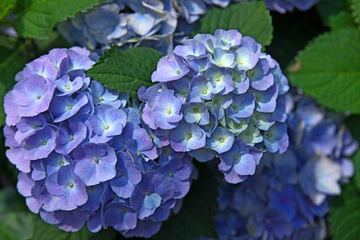 あじさい「新鮮なブルーとパープル、グリーンの葉のアジザイ花のクローズアップ」:スマホ壁紙(1)