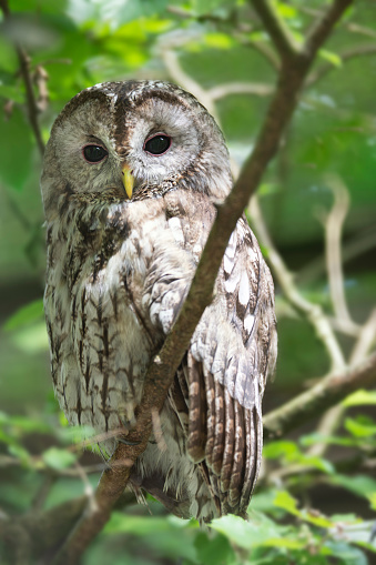 Beak「Waldkauz, Tawny Owl, Strix Aluco, hiding in wildlife, Austria」:スマホ壁紙(19)