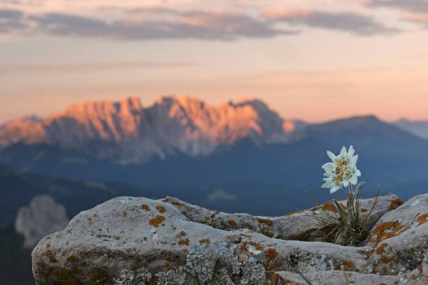 Edelweiss at sunrise with Dolomites in background:スマホ壁紙(壁紙.com)