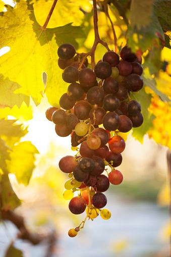 Grape「Vineyard」:スマホ壁紙(8)