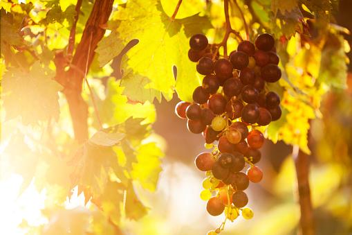 Harvesting「Vineyard」:スマホ壁紙(15)