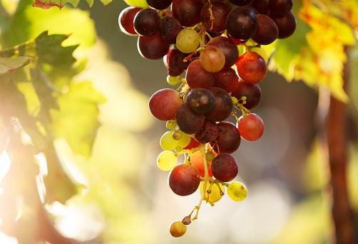 Harvesting「Vineyard」:スマホ壁紙(9)