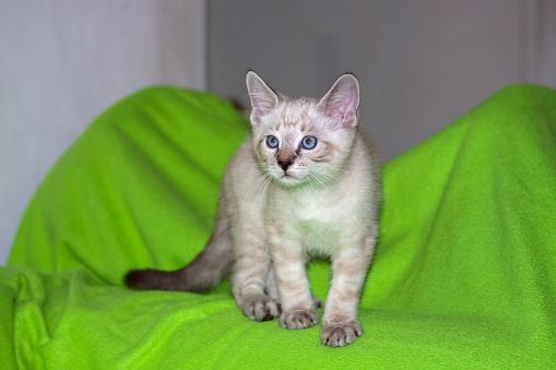 Kitten「Kitten (Felis catus) on neon green, California, USA」:スマホ壁紙(7)