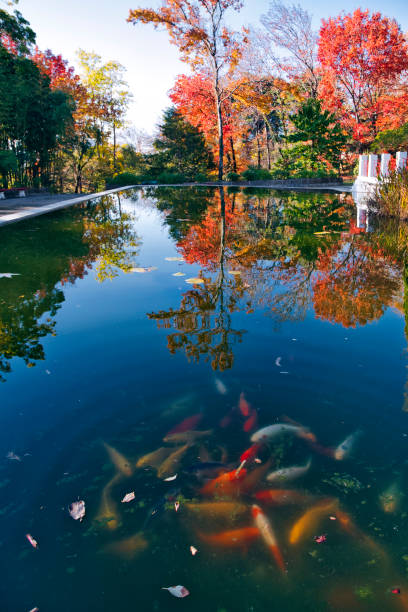 Koi pond in autumn park:スマホ壁紙(壁紙.com)