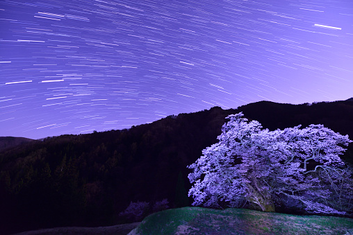 夜桜「The stars and cherry trees at night」:スマホ壁紙(1)