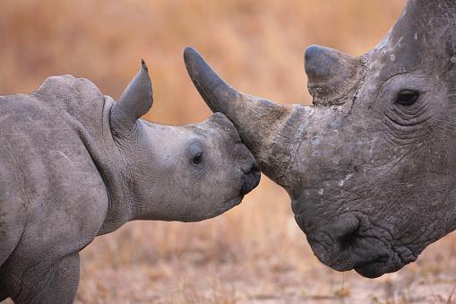 Rhinoceros「Baby White Rhinoceros and mother (Ceratotherium simum). South Africa」:スマホ壁紙(5)