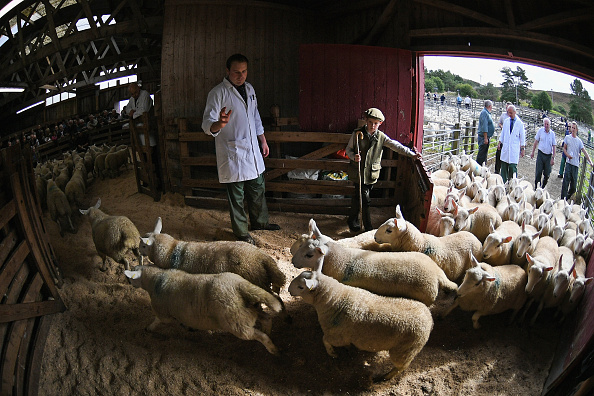 animal「Tens Of Thousands Of Lambs Are Sold On A Hillside Near Lairg In Scotland」:写真・画像(13)[壁紙.com]