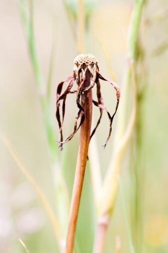 Uncultivated「Flowerhead of dry, dead dandelion against green background, copy space」:スマホ壁紙(10)
