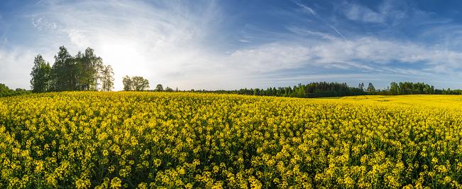 Brassica rapa「Rape field on a spring evening」:スマホ壁紙(16)