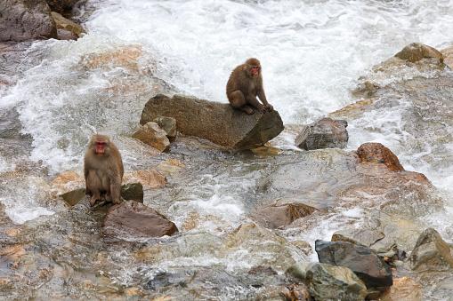 Satoyama - Scenery「Macaques Monkeys, Jigokudani Monkey Park, Japan」:スマホ壁紙(4)