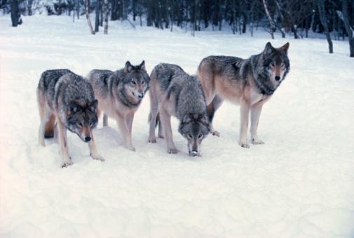 Pack Animal「Wolves」:スマホ壁紙(3)