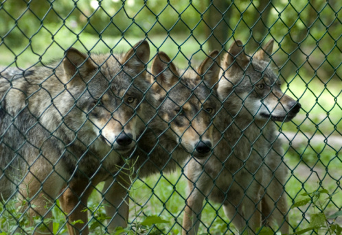 Wolf「オオカミ」:スマホ壁紙(6)