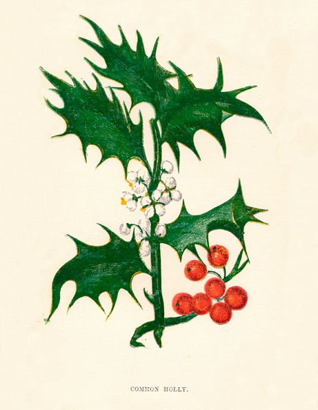 Uncultivated「Common Holly, c1891, (1891)」:写真・画像(19)[壁紙.com]