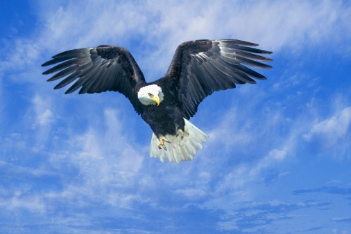 記号「'American Bald Eagle, Pigeon Fork, TN'」:スマホ壁紙(11)