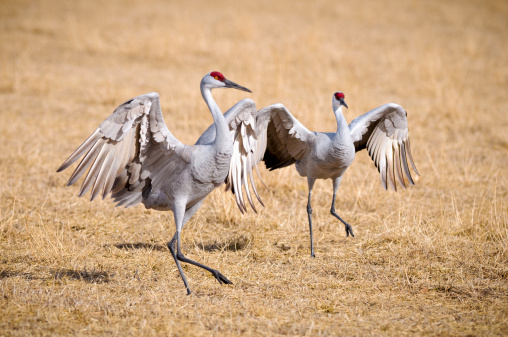 Beak「Sandhill Crane (Grus Canadensis) Dancing at the Edge Field」:スマホ壁紙(0)
