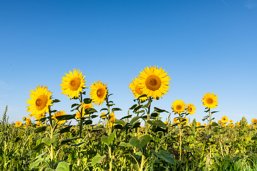 Horticulture「Sunflower, field of sunflowers against blue summer sky」:スマホ壁紙(4)