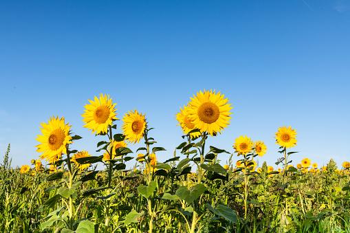 Botany「Sunflower, field of sunflowers against blue summer sky」:スマホ壁紙(19)