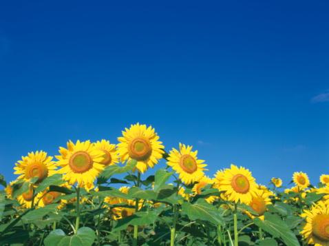 ひまわり「Sunflower field」:スマホ壁紙(11)