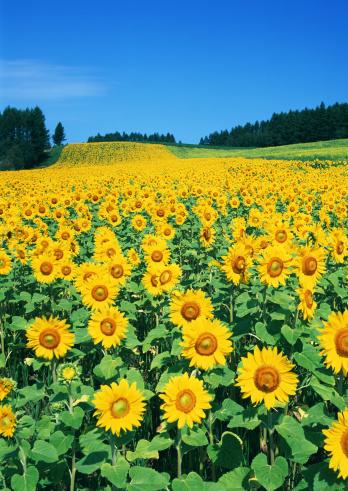 ひまわり「Sunflower Field」:スマホ壁紙(6)