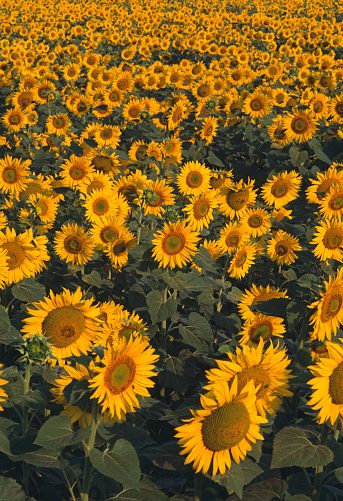 Ecosystem「Sunflower field」:スマホ壁紙(5)
