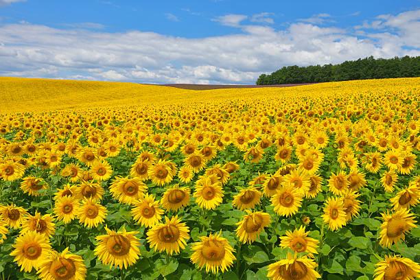 Sunflower Field:スマホ壁紙(壁紙.com)