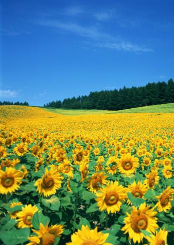 Hokkaido「Sunflower Field」:スマホ壁紙(13)