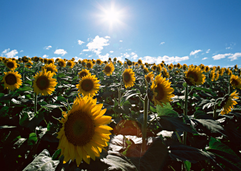 ひまわり「Sunflower Field」:スマホ壁紙(16)
