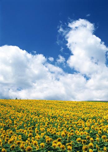 ひまわり「Sunflower Field」:スマホ壁紙(4)