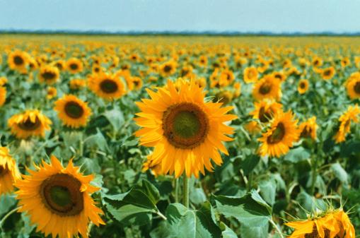 ひまわり「sunflower field」:スマホ壁紙(1)