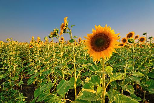 ひまわり「Sunflower field」:スマホ壁紙(0)