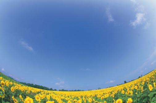 ひまわり「Sunflower Field」:スマホ壁紙(5)