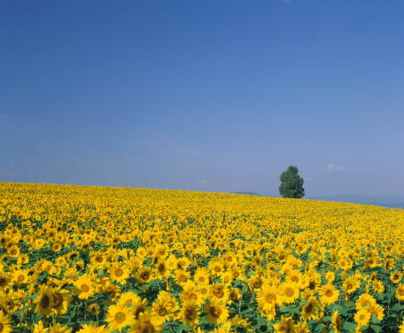 ひまわり「Sunflower field, Hokkaido, Japan」:スマホ壁紙(0)
