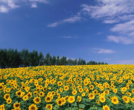 ひまわり「Sunflower field, Hokkaido, Japan」:スマホ壁紙(5)
