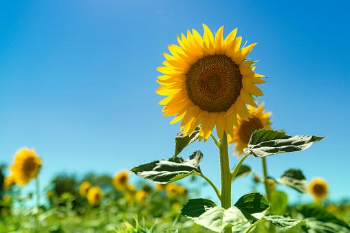 ひまわり「Sunflower field」:スマホ壁紙(2)
